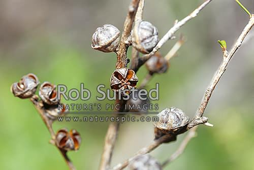 Manuka seeds that have opened and emptied seeds (Leptospermum scoparium), native, Kauaeranga Valley, New Zealand (NZ) stock photo.