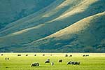 Sheep grazing in inland Otago