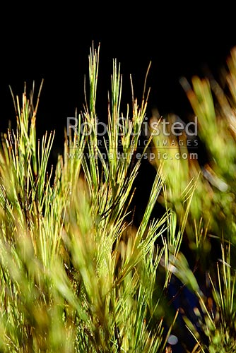 Grass tree / Inanga (Dracophyllum longifolium) backlit by sunlight, New Zealand (NZ) stock photo.