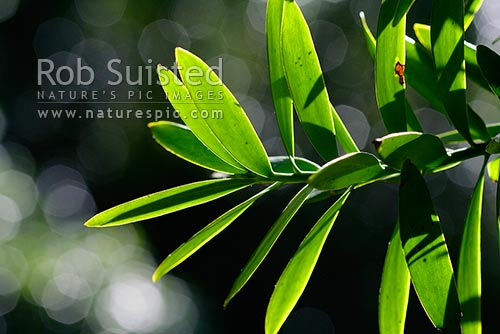 Kauri tree (Agathis australis) leaves backlit by sunlight, Northland, New Zealand (NZ) stock photo.