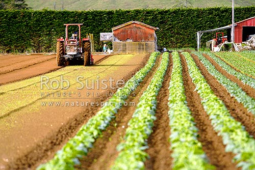 Market Gardening. Vegetable Cropping. Vegetable Rows And Tractor, Levin,  Horowhenua District,