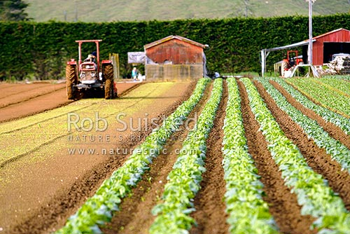 Market gardening. Vegetable cropping. Vegetable rows and tractor, Levin, Horowhenua District, Manawatu-Wanganui Region, New Zealand (NZ) stock photo.
