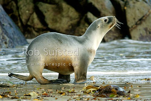 Mature female cow New Zealand Sea lion (Hooker's Sealion) on beach (Phocartos hookeri) walking into sea, Stewart Island, New Zealand (NZ) stock photo.