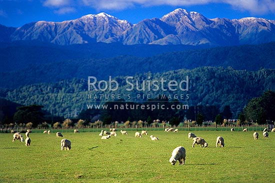 Sheep (Ovis aries) grazing in field / paddock in front of the snow dusted Tararua Ranges. Tararua Forest Park. Mount (Mt) Dundas (1499masl) behind, Levin, Horowhenua District, Manawatu-Wanganui Region, New Zealand (NZ) stock photo.