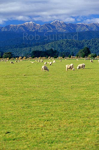 Sheep (Ovis aries) grazing in field / paddock in front of the snow dusted Tararua Ranges. Tararua Forest Park, Levin, Horowhenua District, Manawatu-Wanganui Region, New Zealand (NZ) stock photo.