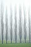 Misty poplar trees
