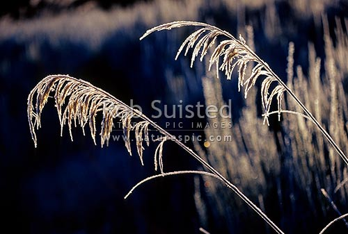 Heavily frosted toetoe (Cortaderia sp.) fronds covered in ice crystals in the morning sunlight. Also Toi-toi, toitoi, New Zealand (NZ) stock photo.