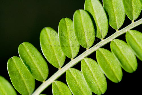 Close up of Kowhai leaves (Sophora sp.), New Zealand (NZ) stock photo.