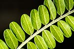 Kowhai tree leaves