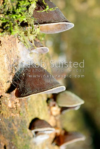 Jew's Ear Fungus on rotting log (Auricularia sp.), New Zealand (NZ) stock photo.