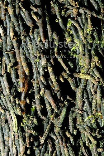Close up of the bark of Black tree fern (Cyathea medullaris) - Mamaku, New Zealand (NZ) stock photo.
