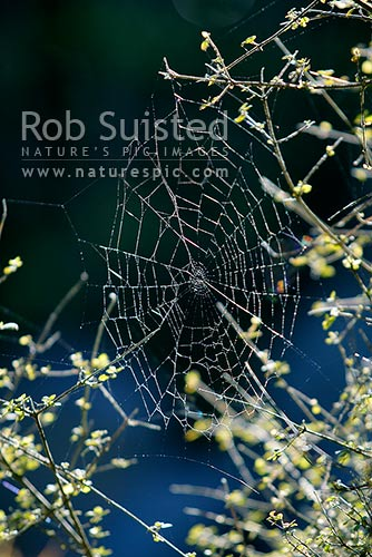 Spiderweb hanging in sunlight from a divaricating shrub, New Zealand (NZ) stock photo.