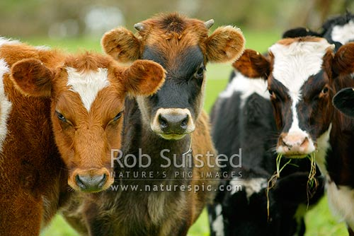 Calves with grass in mouth - Young cattle on farm, New Zealand (NZ) stock photo.