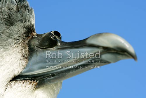 Close up of fairy prion bill / beak showing nostrils / tube nose (Pachyptila turtur), New Zealand (NZ) stock photo.