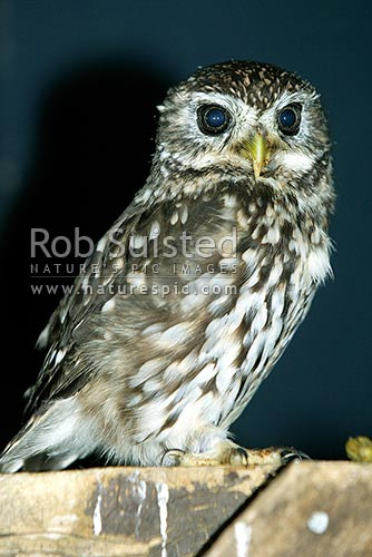 Little owl (Athene nocta), or German Owl. Introduced species to NZ, Marlborough Region, New Zealand (NZ) stock photo.