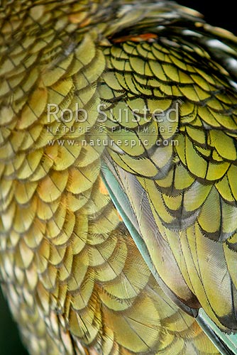 Kea bird feathers (Nestor notabilis), New Zealand (NZ) stock photo.