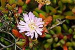 Native Ice plant