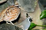 California & Bobwhite Quail pair