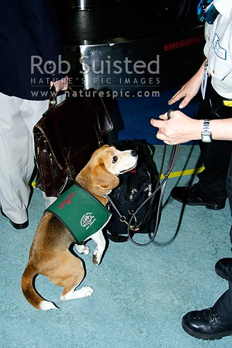 Ministry of Agriculture and Forestry biosecurity officer and dog, a Beagle, checking an airline passenger's bags for risk products, Auckland Airport, Auckland City District, Auckland Region, New Zealand (NZ) stock photo.