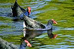 Pukeko swimming