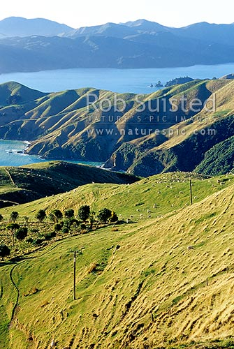 Looking across sheep and farmland and Okuri Bay, towards D'Urville Island (behind) and Current Basin, French Pass, French Pass, Marlborough District, Marlborough Region, New Zealand (NZ).