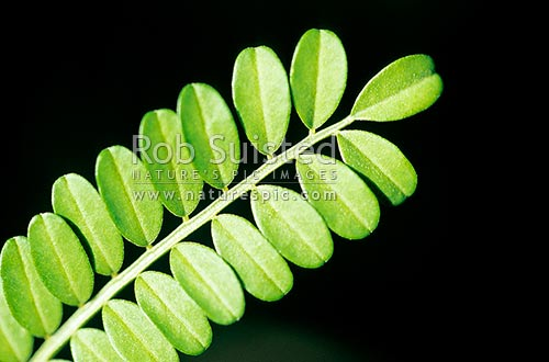 Close up of Kowhai tree leaves (Sophora sp.), New Zealand (NZ) stock photo.