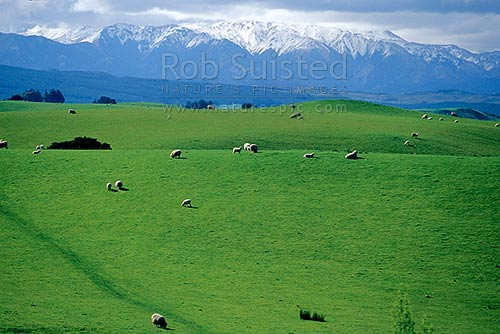 Farmland and sheep grazing. Snow covered Kaweka Range and Kaweka Forest Park behind, Sherenden, Hastings District, Hawke's Bay Region, New Zealand (NZ) stock photo.