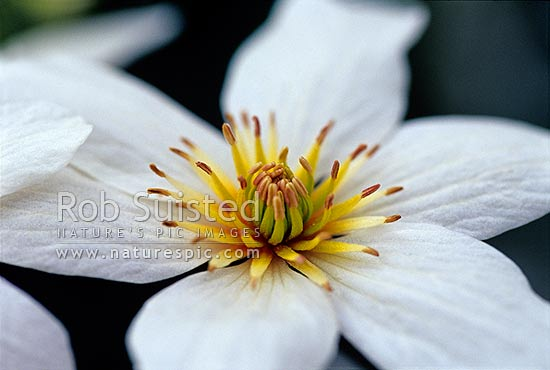 Native New Zealand Bush Clematis flowers (Clematis paniculata); Puawananga, New Zealand (NZ) stock photo.