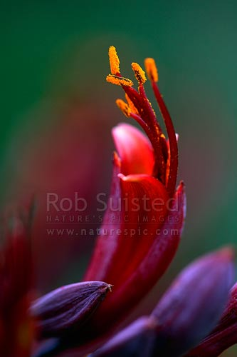 New Zealand Flax flowers (Phormium tenax) showing pollen covered anthers, New Zealand (NZ) stock photo.