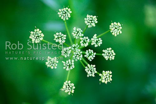 Parsley herb flower head, parsley flowers (Petroselinum crispum neapolitanum), New Zealand (NZ) stock photo.