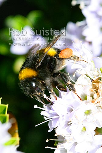 Bumble bee (Bombus sp.) pollinating native Hebe flowers. Note Pollen sacs on hind legs, New Zealand (NZ) stock photo.