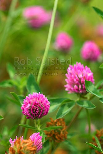 Red clover flowers (Trifolium pratense - Fabaceae), New Zealand (NZ) stock photo.