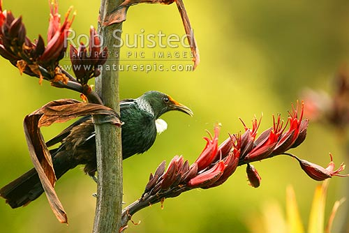 Tui (Prosthemadera novaeseelandiae) feeding amongst flax (Phormium tenax) flowers (note pollen on head), New Zealand (NZ) stock photo.