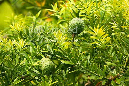 Kauri tree (Agathis australis) leaves and mature cone, Far North District, Northland Region, New Zealand (NZ) stock photo.