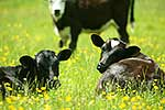 Calves in buttercup