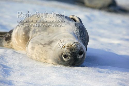 Weddell seal on ice (Leptonychotes weddellii), Commonwealth Bay, George V Land, Antarctica Region, Antarctica stock photo.