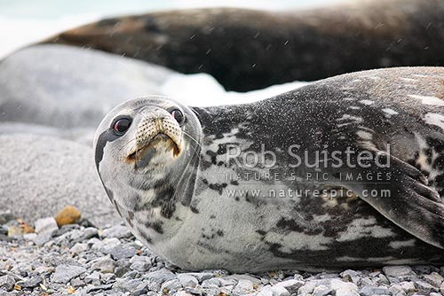 Weddell seal on ice (Leptonychotes weddellii), Ross Sea, Antarctica Region, Antarctica stock photo.