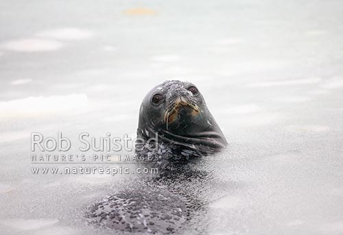 Weddell seal swimming amongst freezing sea water (Leptonychotes weddellii), Ross Sea, Antarctica District, Antarctica Region, Antarctica stock photo.