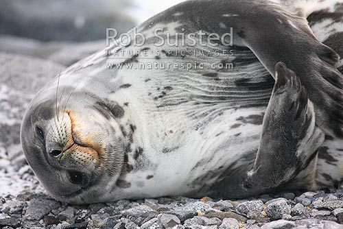 Weddell seal scratching (Leptonychotes weddellii), Ross Sea, New Zealand (NZ) stock photo.
