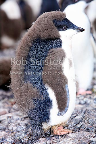 Immature Adelie penguin moulting chick down. Franklin Island, Ross Sea, Antarctica District, Antarctica Region, Antarctica stock photo.