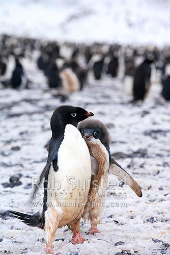 Adelie penguin rookery with penguin chick chasing adult for food (Pygoscelis adeliae). Franklin Island, Ross Sea, Antarctica District, Antarctica Region, Antarctica stock photo.