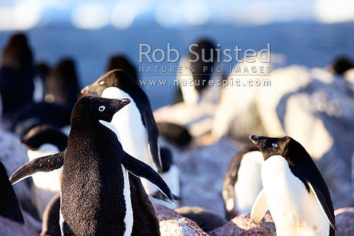 Adelie penguin rookery with adults and penguin chicks (Pygoscelis adeliae), Commonwealth Bay, George V Land, Antarctica stock photo.