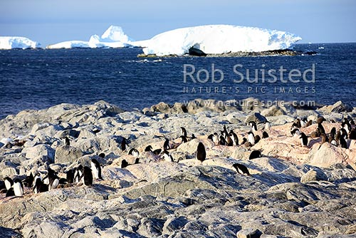 Adelie penguin rookery with adults and penguin chicks (Pygoscelis adeliae), Commonwealth Bay, George V Land, Antarctica District, Antarctica Region, Antarctica stock photo.