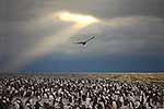 Adelie Penguin colony and Skua