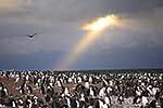 Adelie Penguins, Antarctic