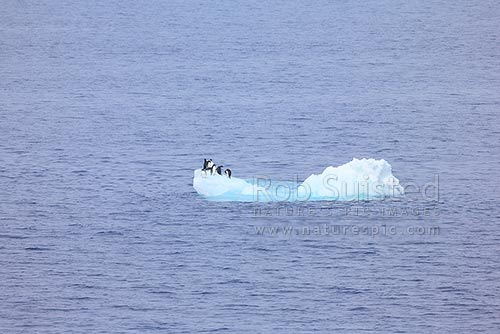 Small group of Adelie penguins (Pygoscelis adeliae) on a small iceberg - bergy bit, Ross Sea, Antarctica District, Antarctica Region, Antarctica stock photo.