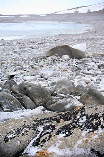 Antarctic Lichen Growing On Granite On Inexpressible