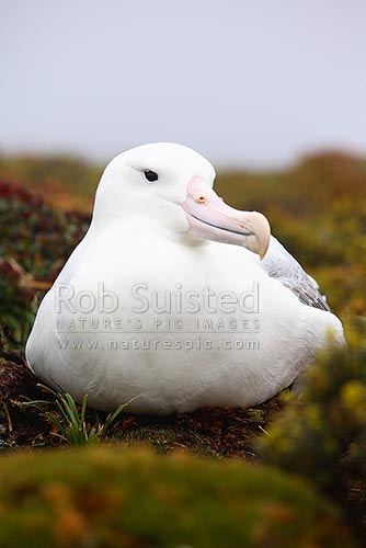 Southern Royal albatross sitting on nest amongst scrub (Diomedea epomophora) - Enderby Island, Auckland Islands, NZ Sub Antarctic District, NZ Sub Antarctic Region, New Zealand (NZ) stock photo.
