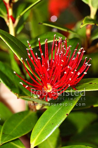 Southern rata flower and leaves (Metrosideros umbellata), Carnley Harbour, Auckland Islands, NZ Sub Antarctic District, NZ Sub Antarctic Region, New Zealand (NZ) stock photo.