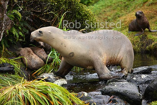 New Zealand Sea lion female and pups (Phocartos hookeri). Enderby Island. Hooker's Sea lion. Note old lesion on skin, Auckland Islands, NZ Sub Antarctic District, NZ Sub Antarctic Region, New Zealand (NZ) stock photo.